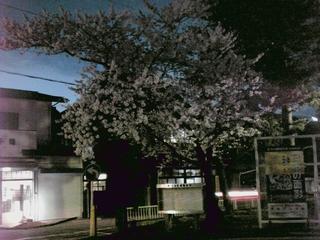 公会堂の前の桜