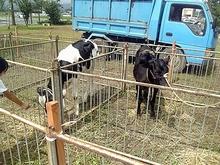 ドナドナ牛