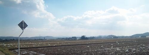 大いなる田舎の田んぼの白鳥