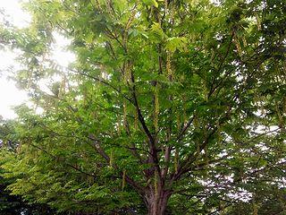 ぶらぶらの木