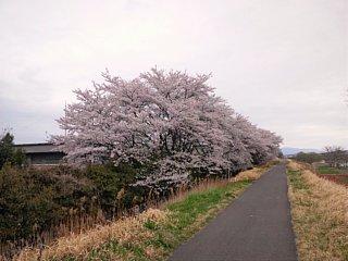下水処理場の前の桜