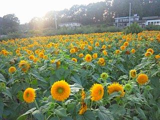 松川の八重咲きひまわり