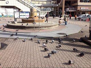 ロータリーの鳩