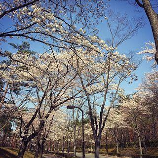 あづまの桜